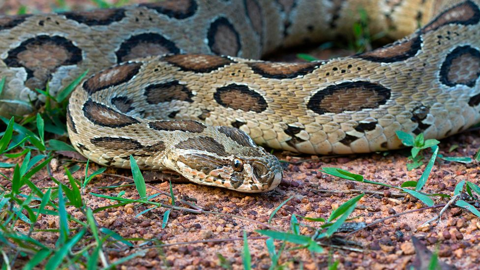 With their drab colouring, Russell's vipers can be hard to spot in the dense undergrowth of agricultural fields (Credit: Alamy)