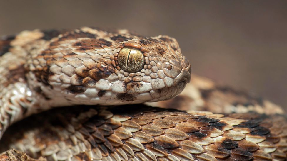 The venom from a saw-scaled viper is highly toxic, but the toxins it contains can vary depending on where the animal is found (Credit: Sushil Chikane/Alamy)