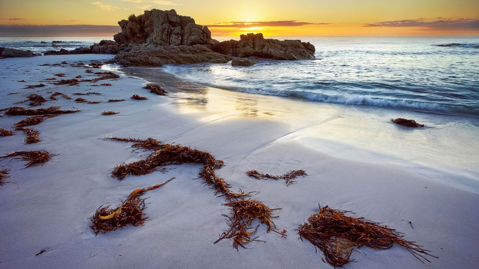 An area of ocean six times the size of Australia is suitable for seaweed cultivation (Credit: Getty Images)