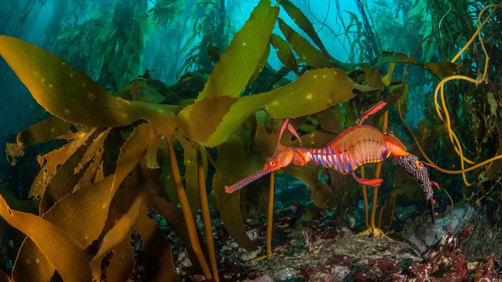 Kelp forests are not just good carbon sinks, they help restore coastal ecosystems allowing other organisms to thrive (Credit: Alamy)