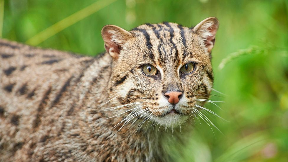 The fishing cat stalks its prey in swamps, wetlands and mangrove forests (Credit: Alamy)