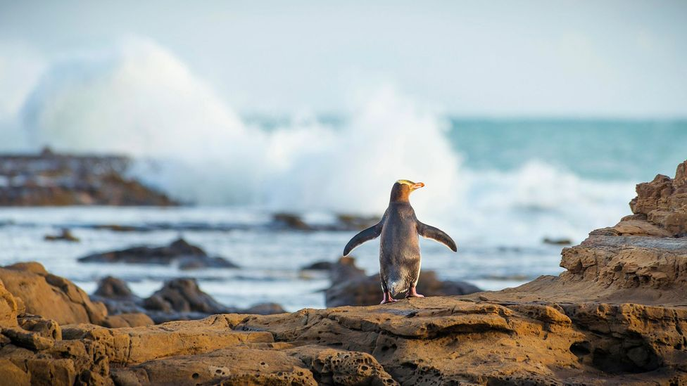 At Penguin Place, about 95% of the birds brought to the facility are released back into the wild (Credit: Moritz Wolf/Getty Images)