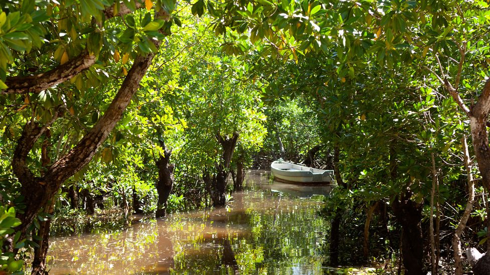 A boat is moored in the midst of a mangrove forest (Credit: Alamy)