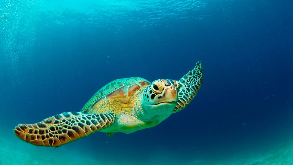Green turtle (Credit: Gerald Nowak/Getty Images)