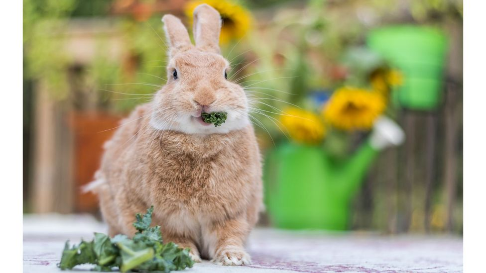 Rabbits eat fresh vegetables in the wild, but many kept as pets feast instead on processed pellets (Credit: Getty Images)