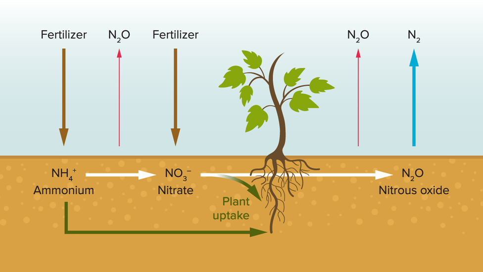 When plant roots don't take up all the nutrients from fertiliser, the greenhouse gas N2O is released (Credit: E. Verhoeven et al/California Agriculture 2017/Knowable Magazine)