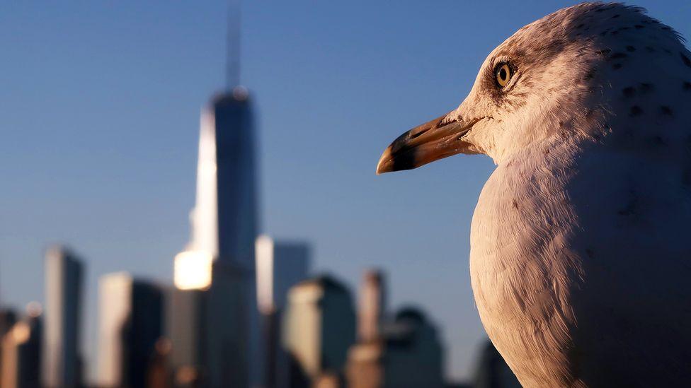 While gulls have been present in coastal cities like New York for a long time, they are also appearing in urban areas further inland too (Credit: Gary Hershorn/Getty Images)