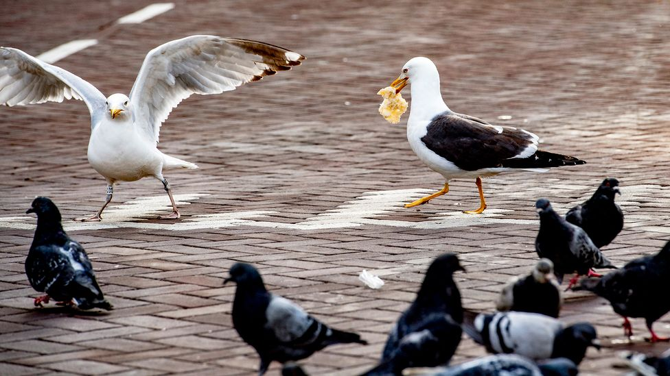 Discarded leftovers and dropped takeaways provide gulls with easy pickings on our city streets (Credit: Robin Utrecht/Getty Images)