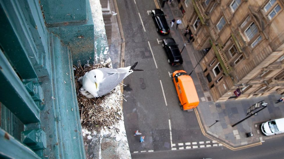 High ledges and windowsills of tall buildings in cities make perfect nesting sites for gulls as they offer protection from predators (Credit: Alamy)