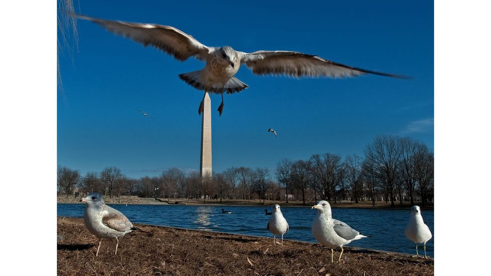 In many countries around the world, gulls are moving further inland as urban areas offer them new habitats (Credit: Paul J. Richards/AFP/Getty Images)