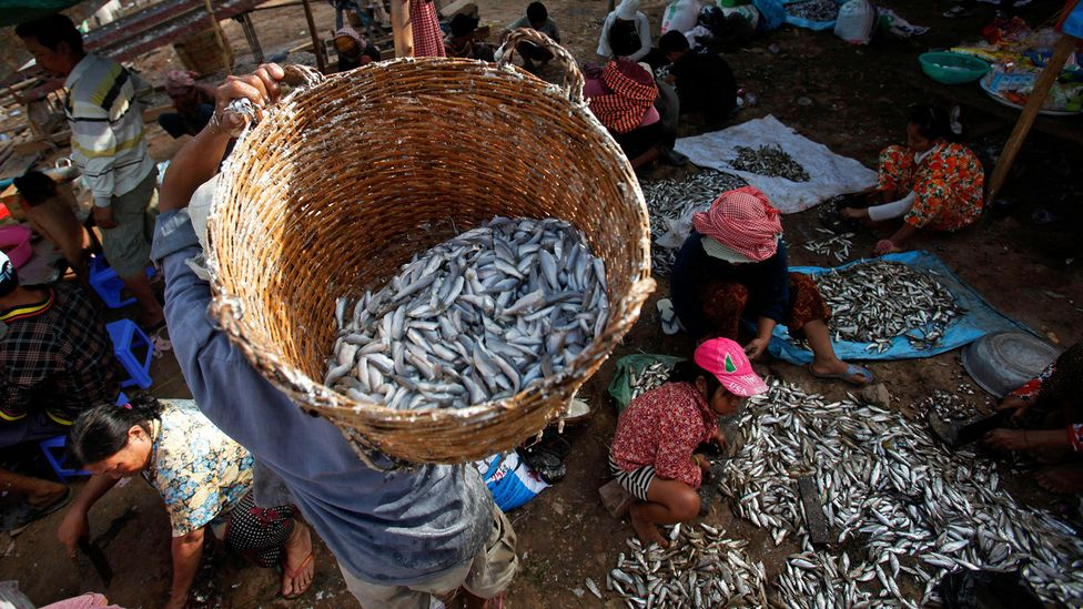 During the monsoon season, floods cause an excess of trey riel fish in Cambodia's rivers and lakes (Credit: Reuters/Alamy)
