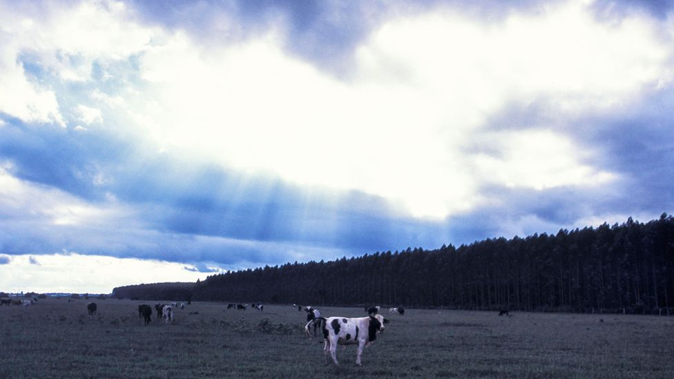 When cattle graze alongside eucalyptus trees, there are benefits for the cows' nutrition and wellbeing, as well as potential carbon savings (Credit: Getty Images)