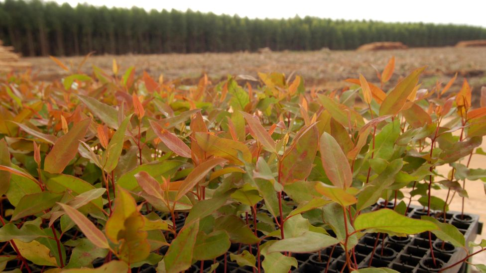 Eucalyptus seedlings grow rapidly and reach maturity quickly, making them an attractive option for farmers (Credit: Getty Images)