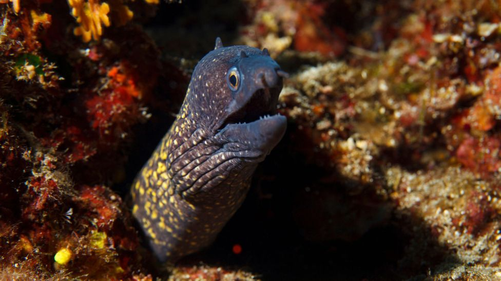 Once a popular food on Skopelos, moray eel has fallen out of fashion over the last few decades (Credit: Ultramarinphoto/Getty Images)