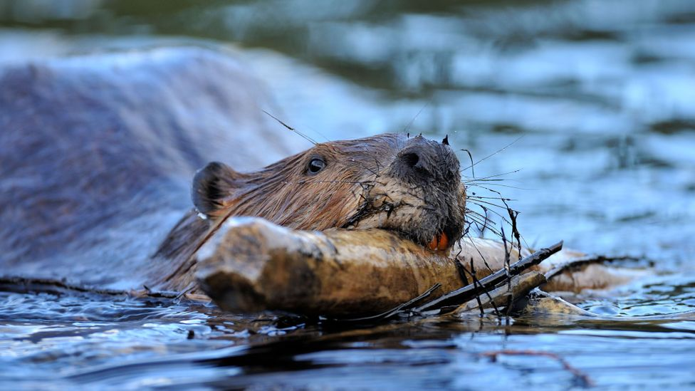 Beavers are versatile, historically widespread animals that can survive in a number of different climates (Credit: Alamy)