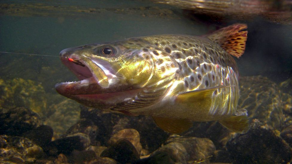 A brown trout swimming (Credit: Alamy)