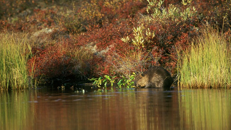 Beaver numbers are being boosted in Europe as well as North America through reintroduction schemes (Credit: Getty Images)