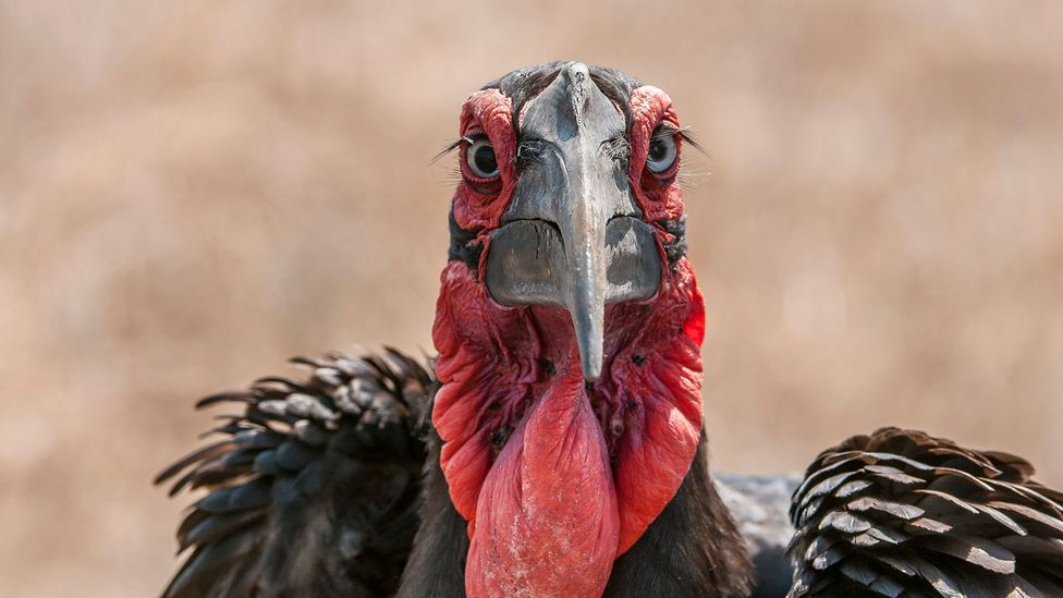 Close up of Southern ground hornbill with its signature red wattle and long eyelashes
