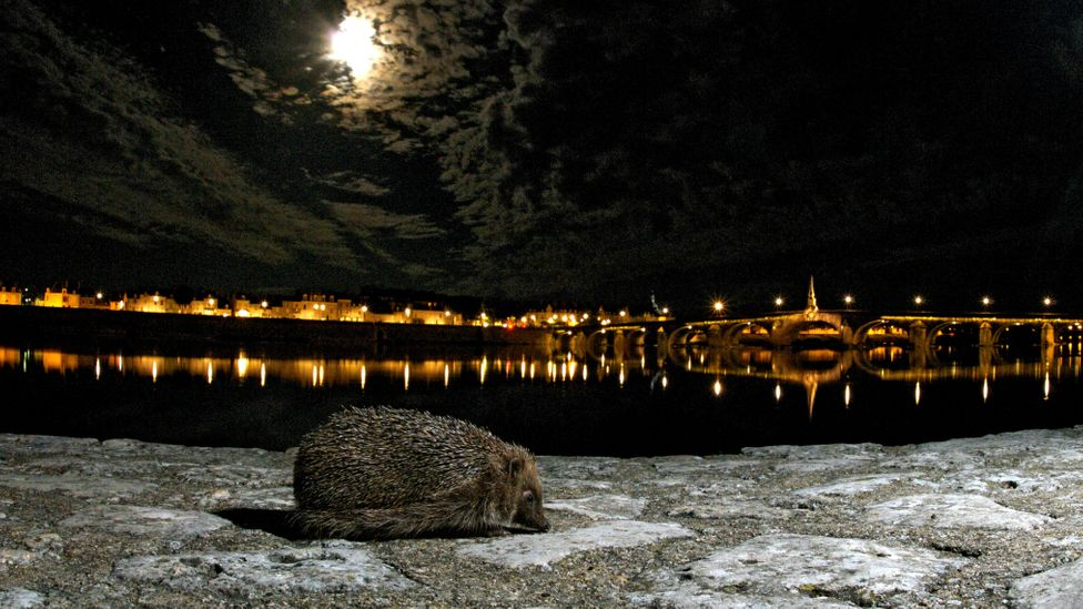 Buildings can be adapted to provide hibernation space for hedgehogs, helping to make the city a safer place for them (Credit: Getty Images)