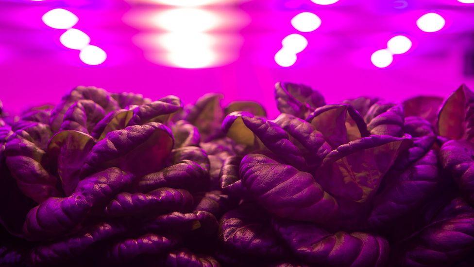 Salad leaves under pink lights in Brazil (Credit: Jonne Roriz/Getty Images)