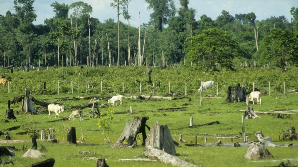 Brazil, home to much of the Amazon Rainforest, is also the world's largest exporter of beef (Credit: Getty Images)