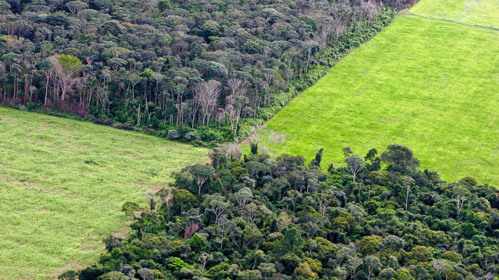The production of soy in the Amazon is another significant contributor to deforestation (Credit: Getty Images)