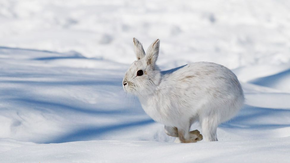Snowshoe hares show changes in their behaviour and brain chemistry that appear similar to PTSD in humans (Credit: Jim Cumming/Getty Images)