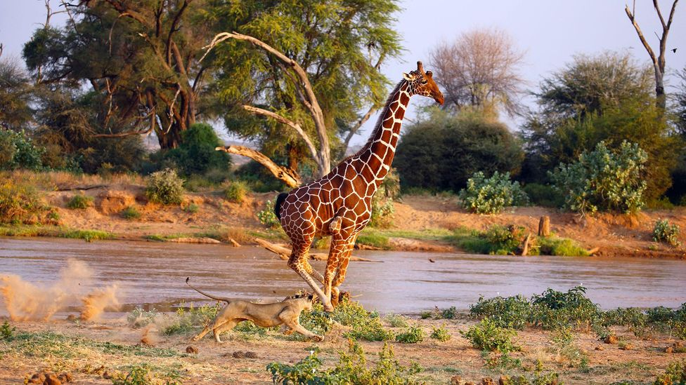 Many adult giraffes bear the scars from lions, but these encounters may leave non-physical marks too (Credit: BiosPhoto/Alamy)