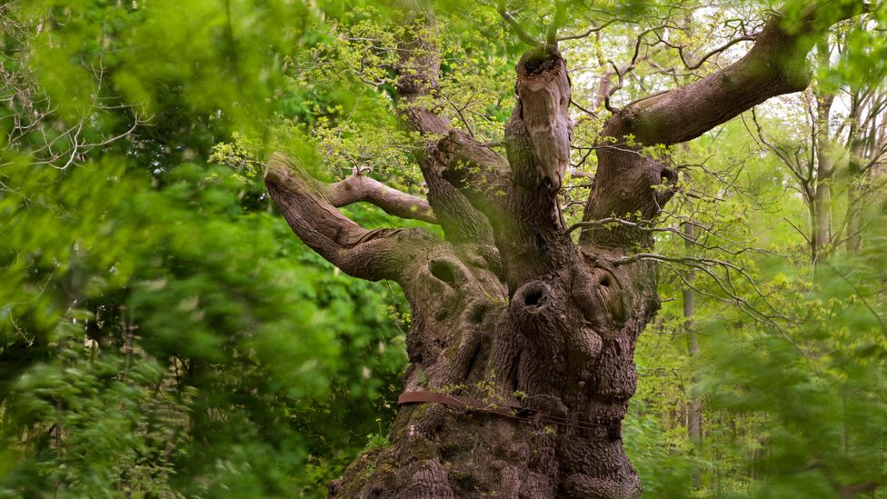 Ancient trees form intricate habitats for an array of other species, from fungi to birds (Credit: Alamy)