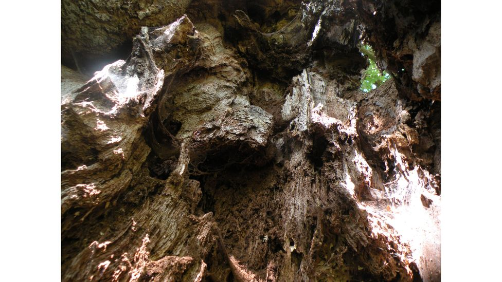 The lost generation of ancient trees