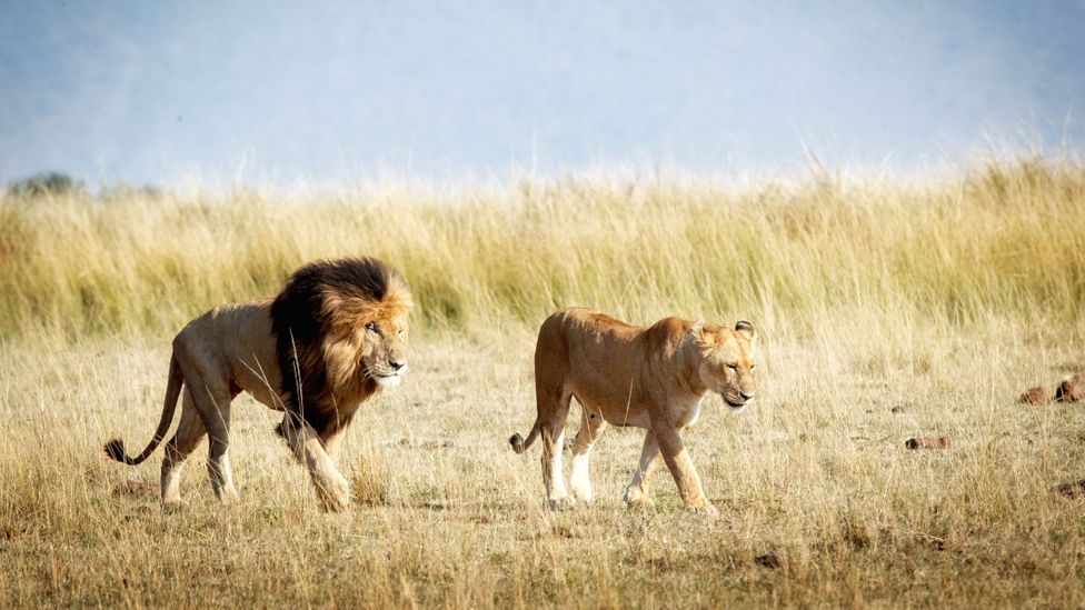The Maasai see themselves as they see lions – as noble, superior and formidable (Credit: Adogslifephoto/Getty Images)