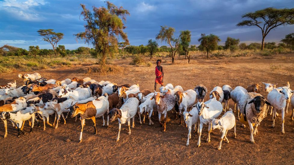 Maasai boys herd cattle and goats from an early age and ownership is associated with wealth and status (Credit: Hadynyah/Getty Images)