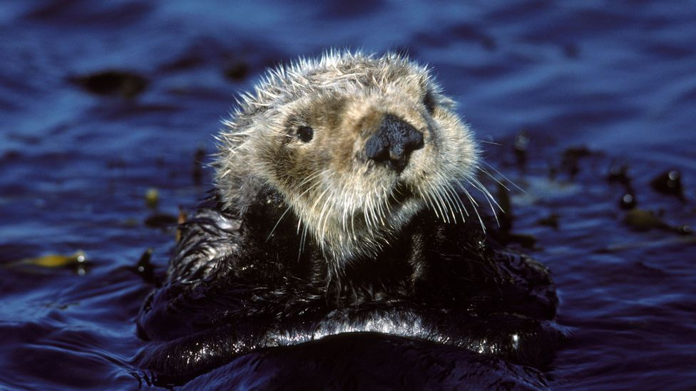 The sea otter has an outsized effect on its ecosystem, helping it to absorb more carbon from the atmosphere (Credit: Getty Images)