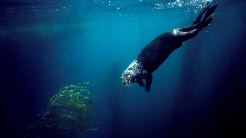 Sea otters have voracious appetites, eating about a quarter of their body weight every day (Credit: Getty Images)
