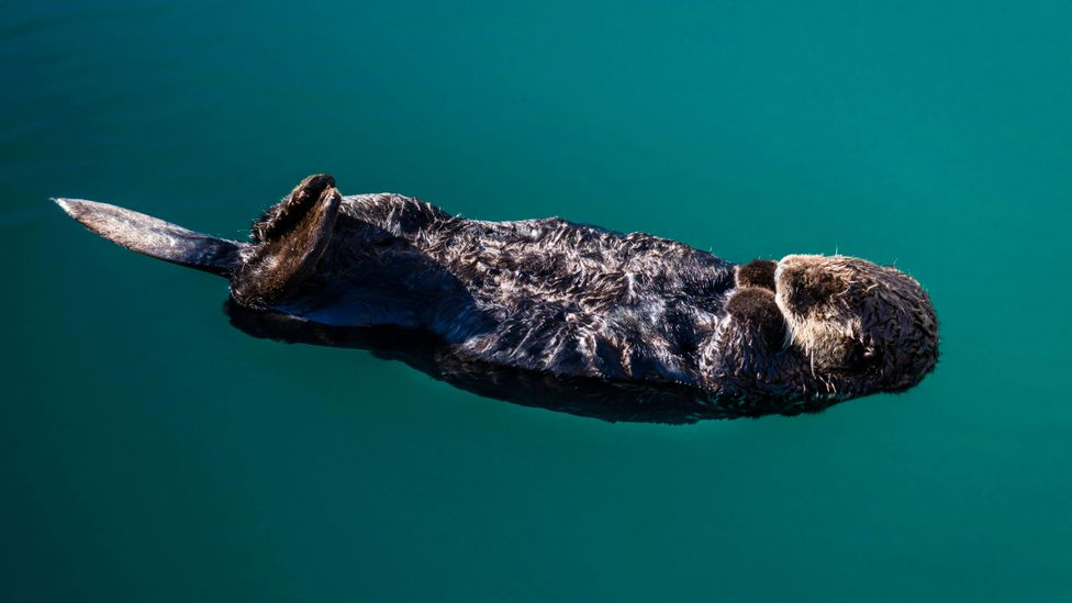 In areas where sea otter populations thrive, kelp forests often flourish too – growing at a rate of up to 60cm (24 inches) a day (Credit: Getty Images)