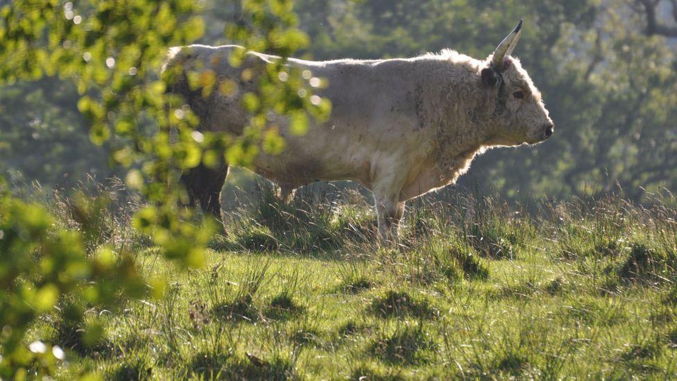 Chillingham wild cow standing in field
