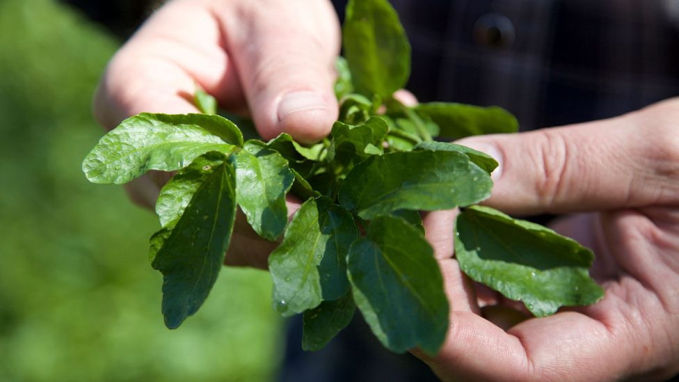 Farmer examining his watercress crop for quality control before harvest. Alresford