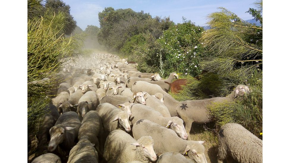 Herds typically cover distances of 20km (12 miles) every day during the spring and autumn transhumance (Credit: TyN)