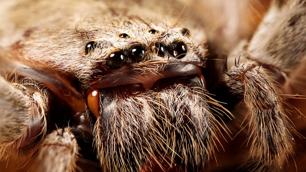 A close up of a huntsman spider's hairy face (Credit: Alamy)