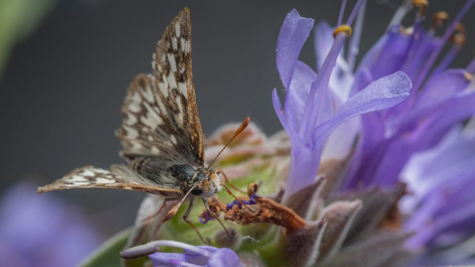 Laguna Mountains skippers, among the rarest of California's butterflies, have a wingspan of only 1 inch/2.5cm (Credit: Michael Ready)