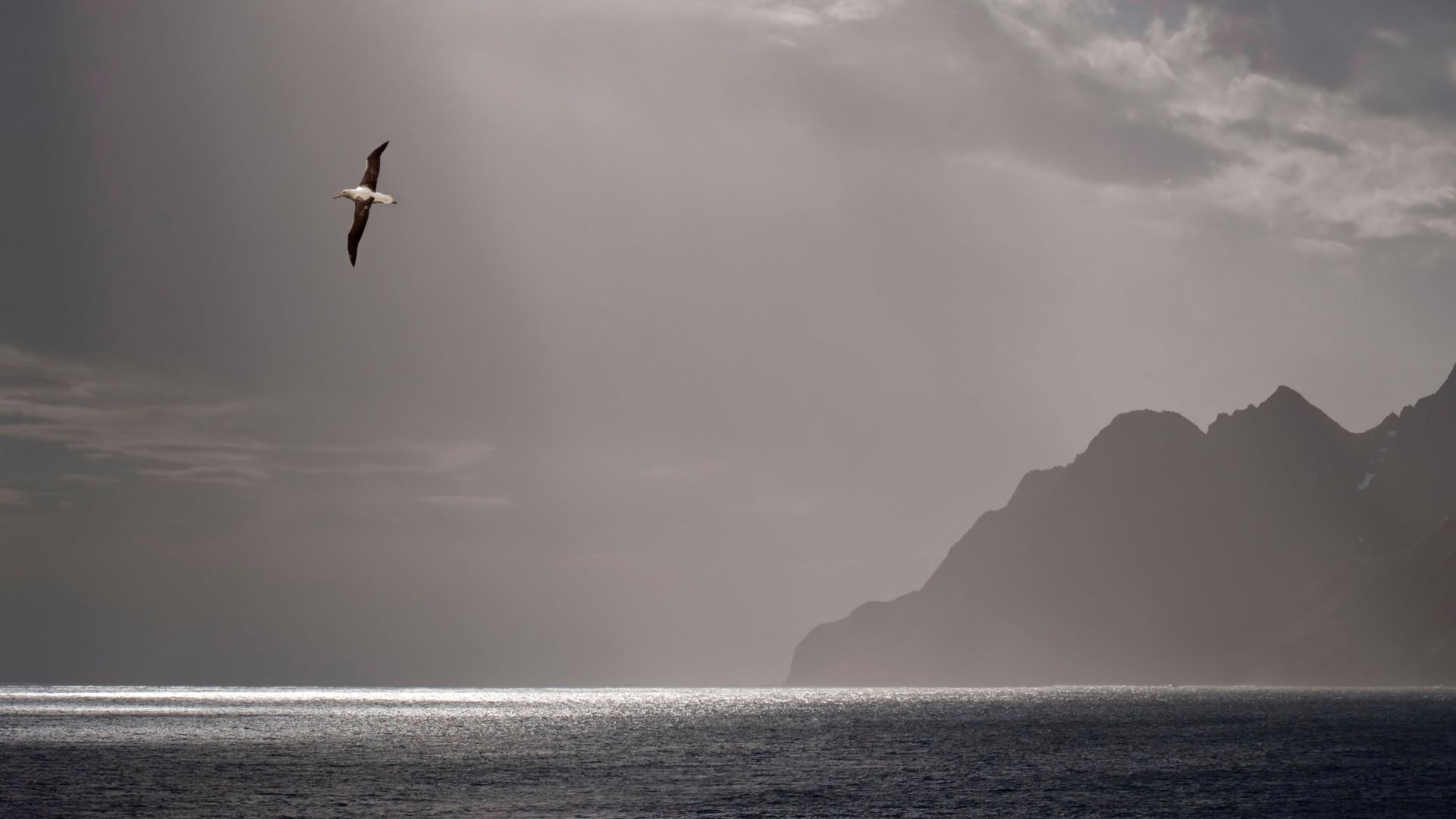 The wandering albatross can fly the equivalent of 10 trips to the Moon and back in its lifetime (Credit: Alamy)