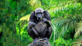 Chimpanzee on tree (Credit: Getty Images)