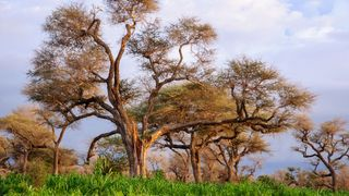 In countries that span the Sahel, acacia trees – the source of gum arabic – thrive (Credit: Getty Images)