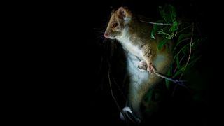 Possums can carry bacteria that cause a flesh-eating disease in humans (Credit: Alamy)