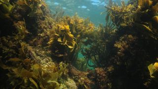 Seaweeds grow quickly, absorbing large quantities of CO2 in order to do so (Credit: Alamy)