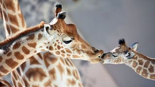 With their unusually long necks, giraffes need to maintain extraordinarily high blood pressure – how do they do it without falling ill? (Credit: Getty Images)